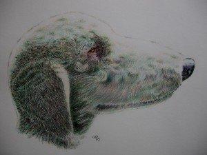 CRAYON DE COULEUR : BEDLINGTON TERRIER dans animalier crayon-de-couleur-bedlington-300x225